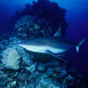 Grey Reef Shark