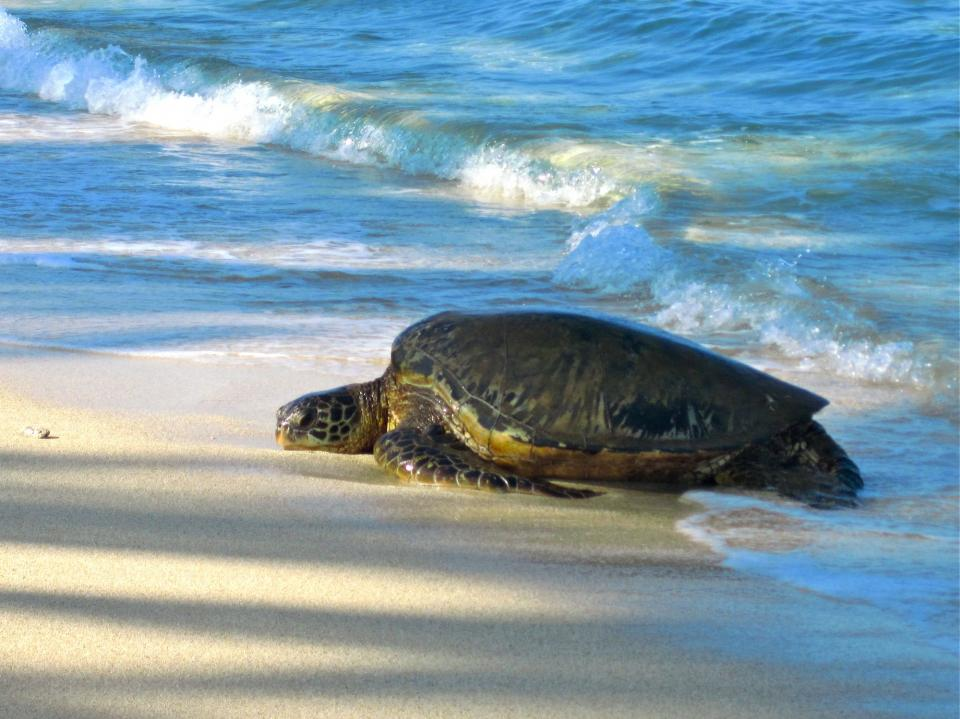Turtle on a beach ready for nesting